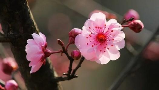 flor del cerezo representando las frases del budismo