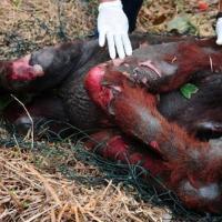 La industria de aceite de palma: el camino a la extinción del Orangután de Borneo.