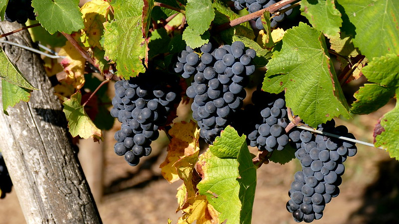 mesa-habla-uvas-pinot-noir