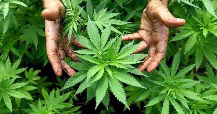 Puglia: la cannabis e la rivincita dei fratelli Fornaro