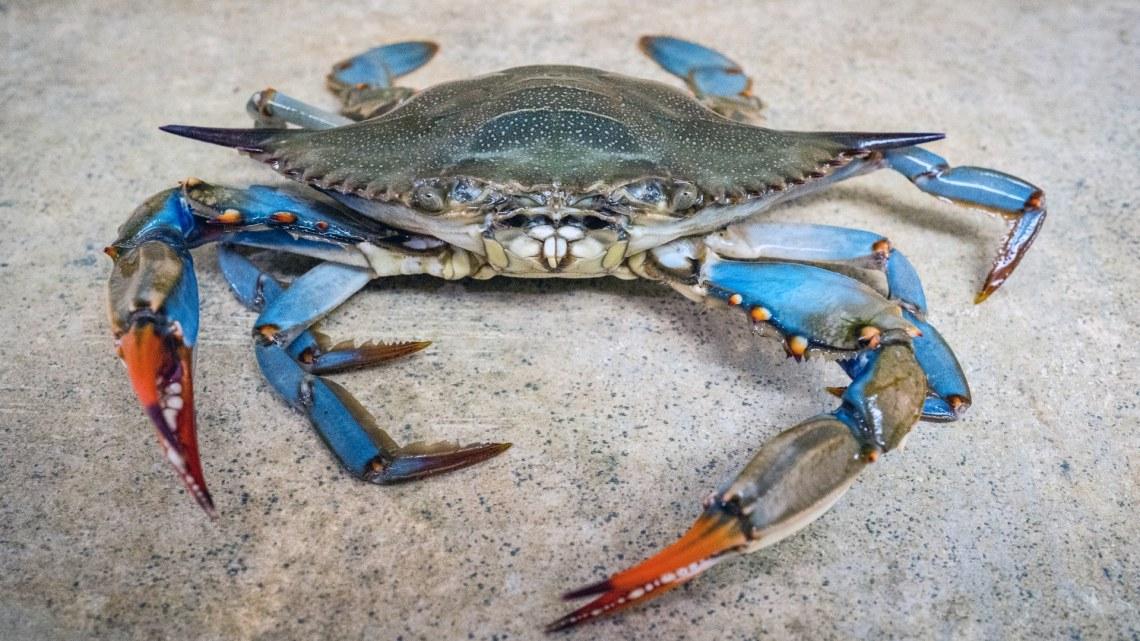 """In Puglia c'è un nuovo """"ospite"""" nei mari del Salento: il granchio azzurro"""