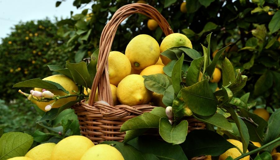 Limone Femminello del Gargano IGP: è il più antico d'Italia
