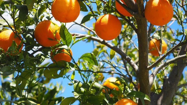 Arancia del Gargano: caratteristiche e curiosità di  una delizia pugliese tutta da gustare