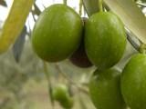 Puglia: Settembre, è tempo di raccogliere le olive di Sant'Agostino