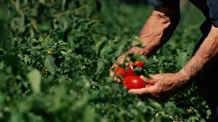 La guerra del pomodoro tra Puglia e Campania: il punto di vista di un agricoltore
