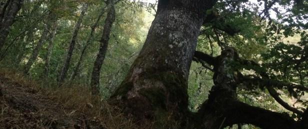 ROBLE ALBAR (Quercus petraea) EN LA BRAÑA VILFORCOS, VALLE DE LAS ARREGADAS, RIOSCURO DE LACIANA POR JENNIFER MANTECA