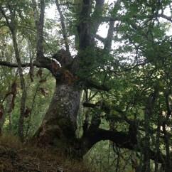Quercus petraea, RIOSCURO