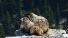 Whistler is named after these little guys