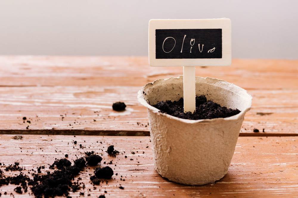 como plantar un olivo