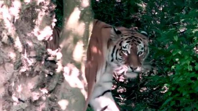 Irina, la tigresa que mató a una cuidadora en el zoo de Zúrich.INSTAGRAM
