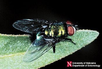 Blow Flies In The Home Nebraska Extension In Lancaster County