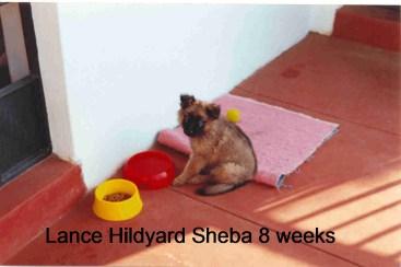 Sheba 8 weeks