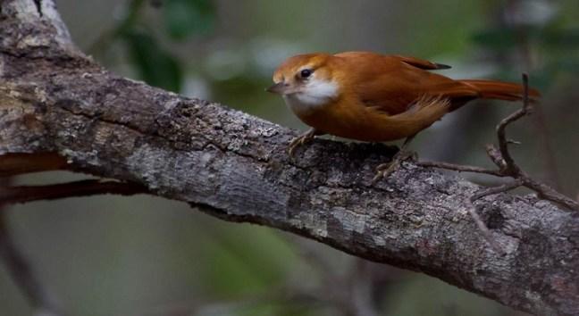 Names of birds - Xenops