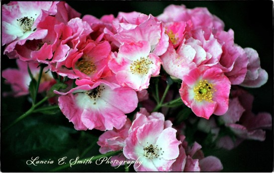 Kilns Roses