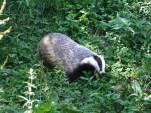 campbell badger3