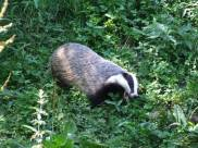 campbell badger3