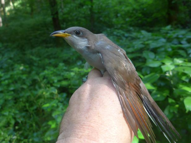 "This yellow-billed cuckoo was just banded by KHLCF biologists in Franklin County. West Coast populations of this bird are on the Federal Endangered Species list as ""Threatened"". Help keep them common in Kentucky - protect forested habitat by buying your ""Nature's Finest"" license plate!"