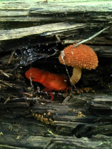 A red eft on the Pine Mountain Scenic Trail in Bell County http://www.pinemountaintrail.com/.