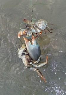Big and small mud crabs