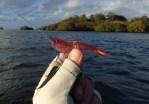 Talman soft plastic shrimp