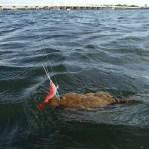 Talman shrimp does the trick
