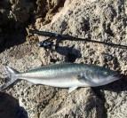 Berkley Dropshot -Salmon