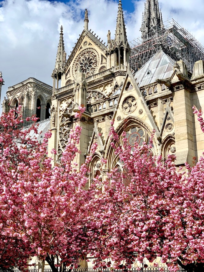 Notre Dame Cherry Blossoms