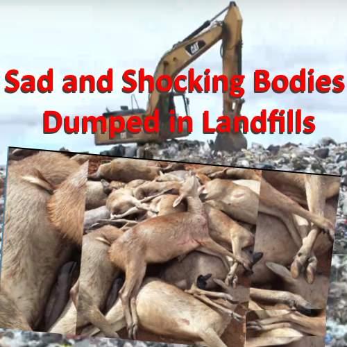 image showing deer bodies dumped in landfills