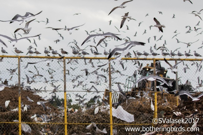 Illustration shows the need for Landfill Bird Control.