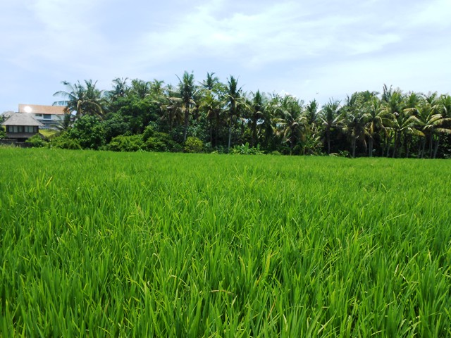 Land in Canggu Bali For sale 2,000 m2 with Close to The Beach