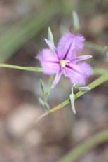 Thysanotus chinensis (1)