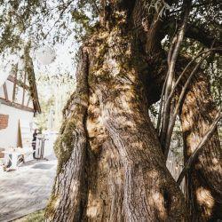 Wunderschöner alter Baum bei Hochzeit Saal, Festsaal