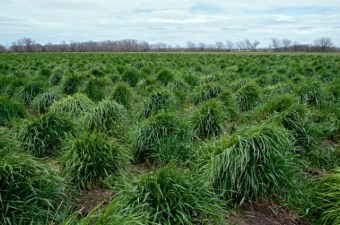 Kernza Perennial Wheat Stands