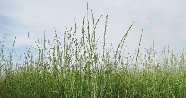 Kernza Plants in the Field