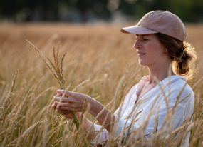 Anna Andersson harvests perennial wheat at The Land Institute