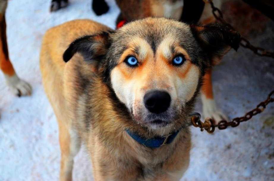 Canadian Sled Dog Portrait