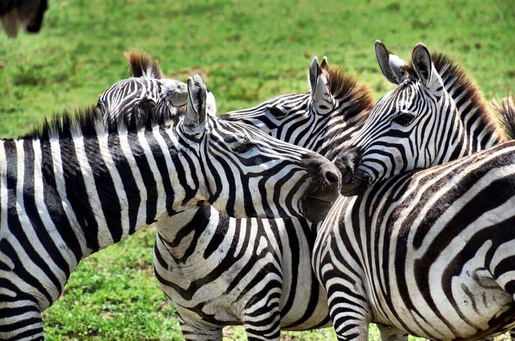 Zebra Ngorongoro Crater Tanzania