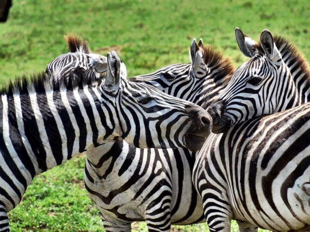 Zebra Ngorongoro Crater Tanzanie