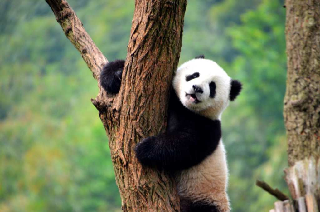 Panda Chengdu China