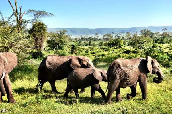 Elephants Tanzania Africa