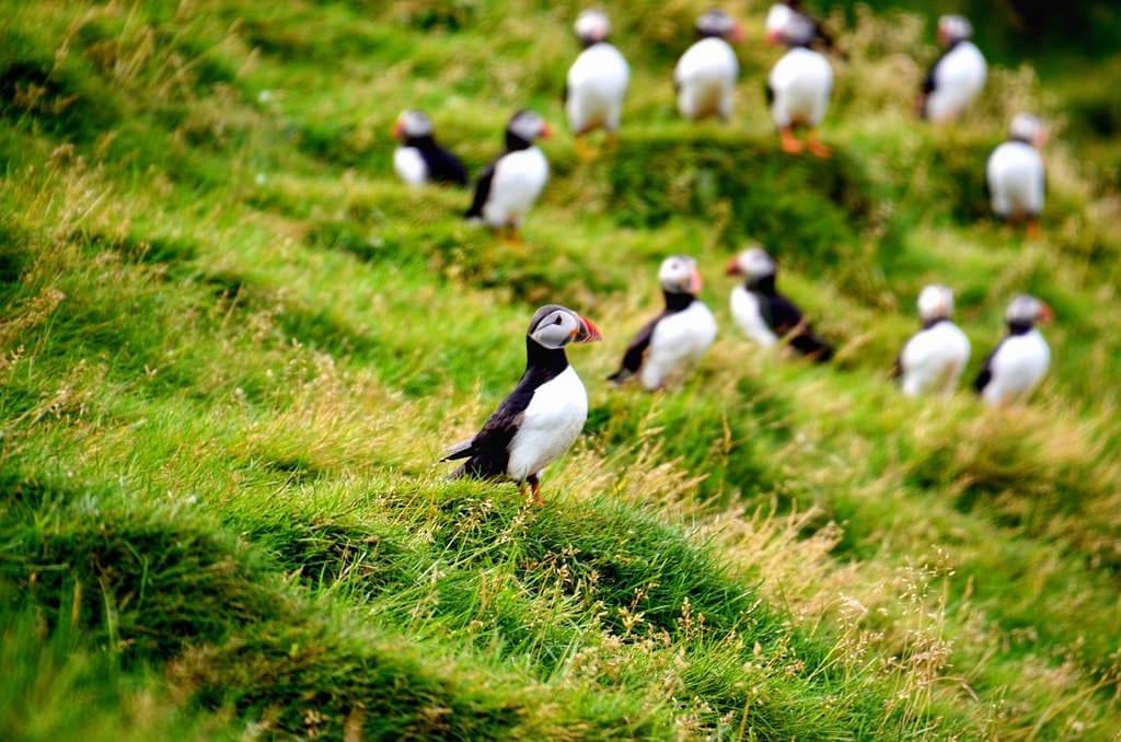 Puffin Westman Islands Iceland
