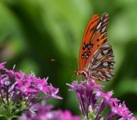 Karen Dove Barr - Fritillary Butterfly