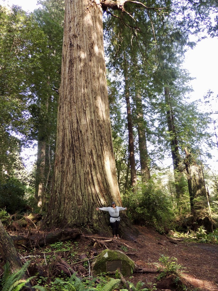 Another huge redwood