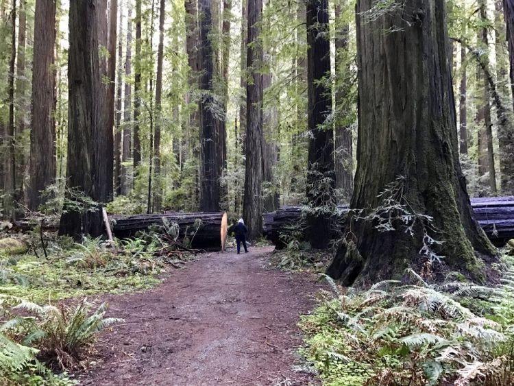 Cheryl walking through cut downed tree