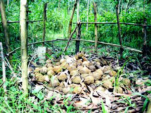 Cluster bombs which are known by the Vietnamese as bombies, all stacked in one spot and cordoned off by handmade wood railings.