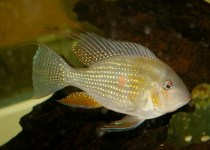 Threadfin Acara Cichlid