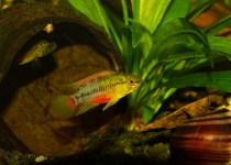 Red Streak Cichlid