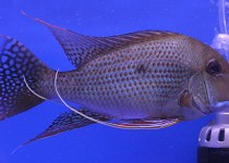 Red-Striped Eartheater Cichlid