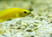 Lemon Yellow Cichlid