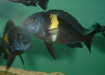 White Spotted Cichlid